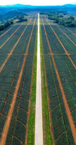 DEL MONTE PINEAPPLE PLANTATION