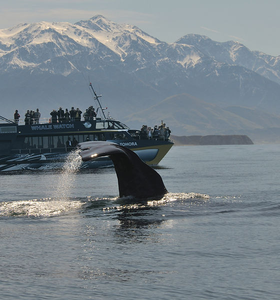 Whale watch with boat & mountains - HIGH