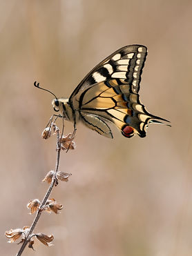 Swallowtail in late summer_edited.jpg
