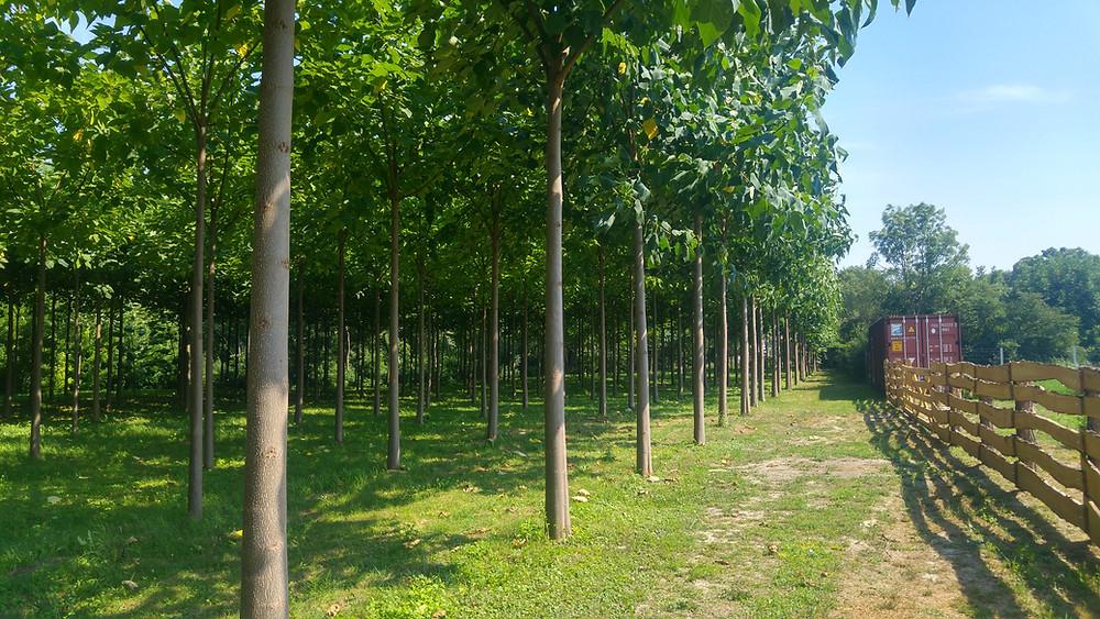 Cotevisa2 ipari császárfa ültetvény Paulownia Planet