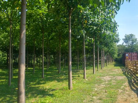 Cotevisa 2 ipari császárfa faanyagának felhasználása