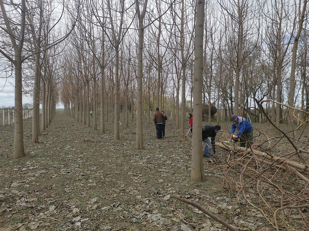 Paulownia Planet Cotevisa2 ipari császárfa hazai faanyag