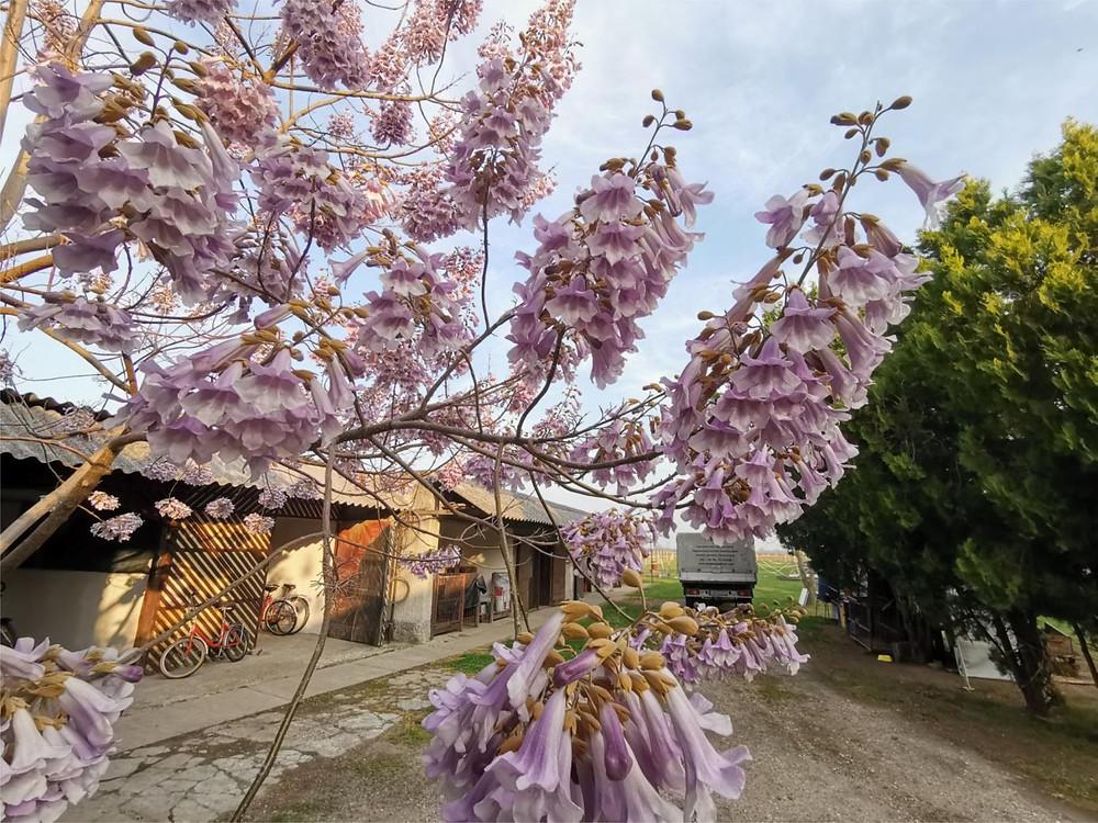Cotevisa 2 ipari császárfa virágzat