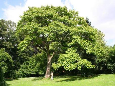 Császárfa, mint fűrészáru