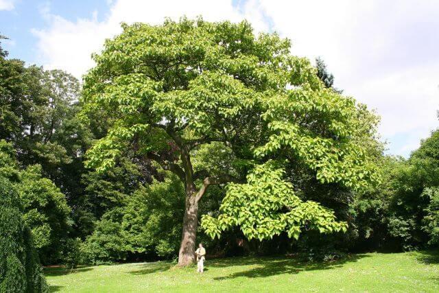 Császárfa fűrészáru