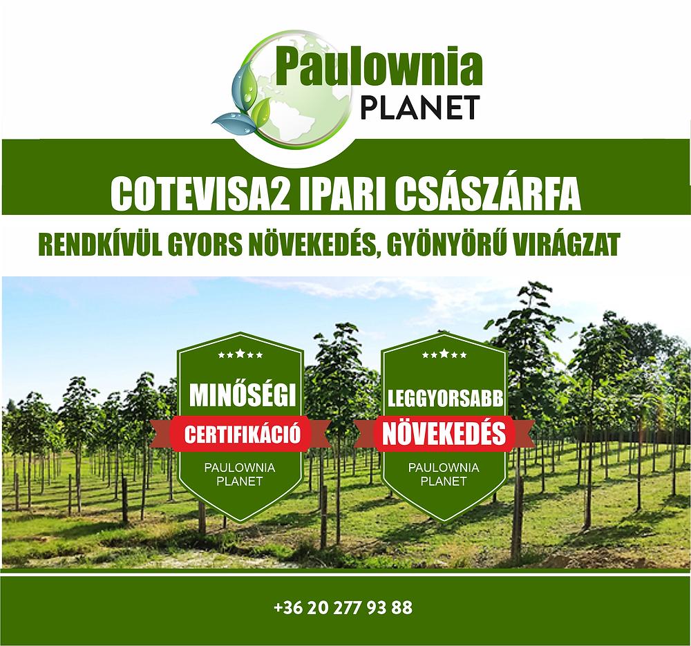 Paulownia Cotevisa2 császárfa csemete dísznövénykánt  otthonra