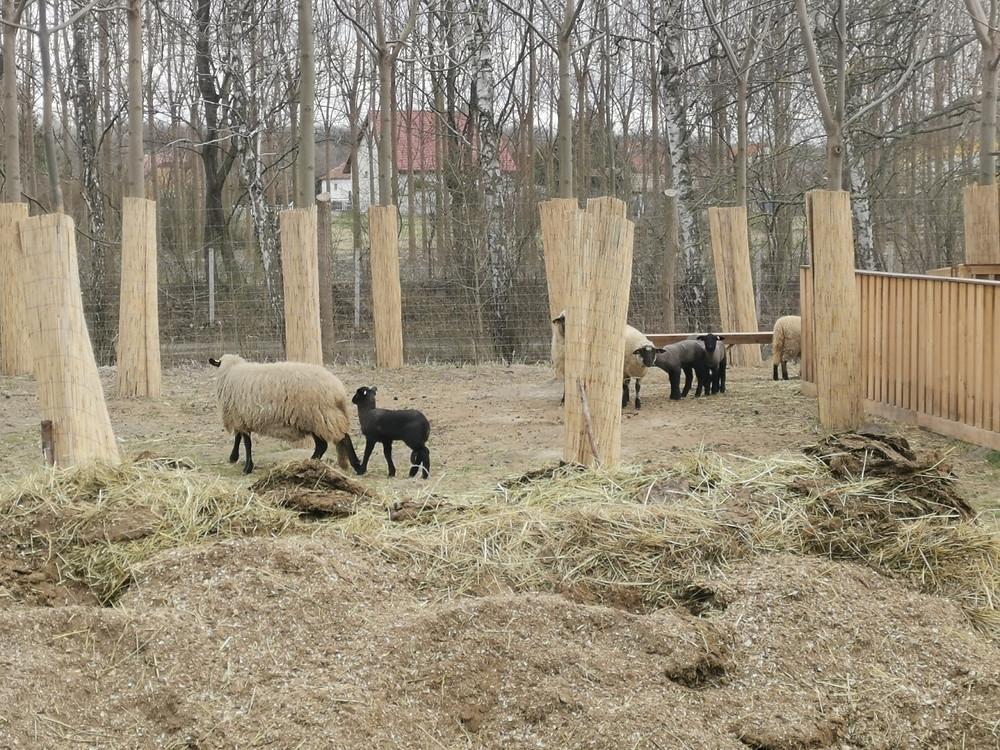 Ipari császárfa ültetvény köztes hasznosítás - állattartás
