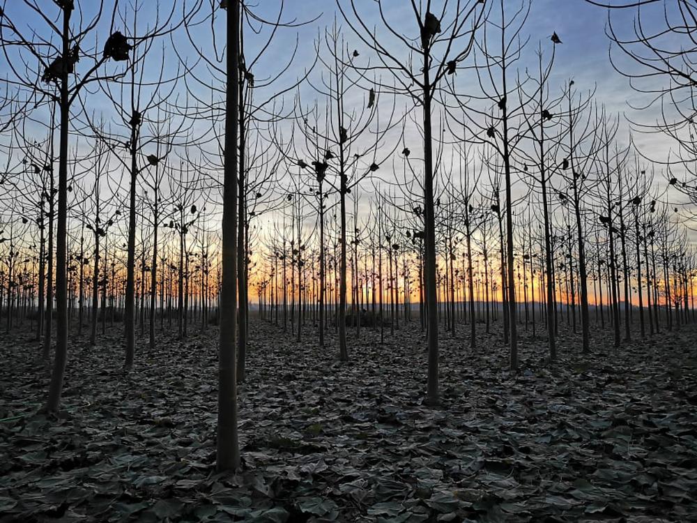 Paulownia Cotevisa 2 ipari császárfa ültetvény Magyarországon
