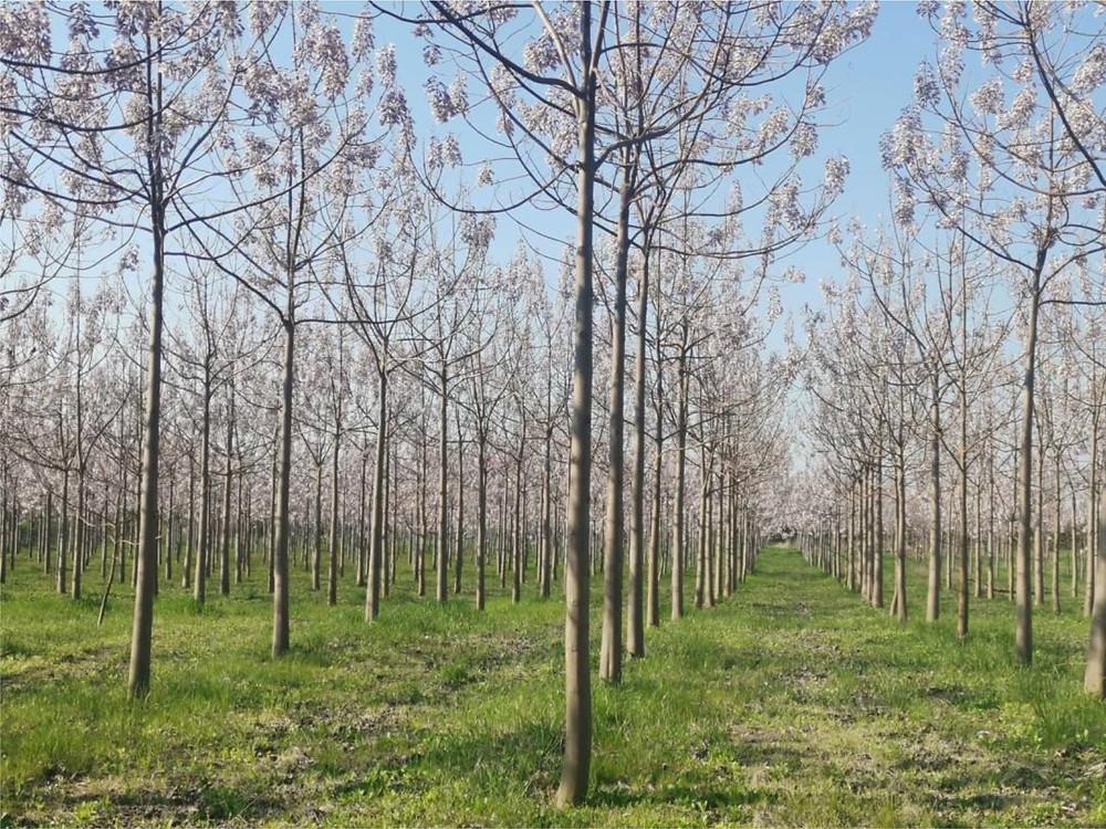 Cotevisa 2 ipari császárfa ültetvány virágzat