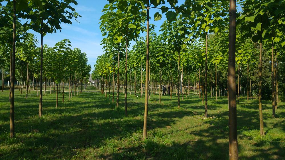 Ipari császárfa Cotevisa 2 kínai császárfa ültetvény