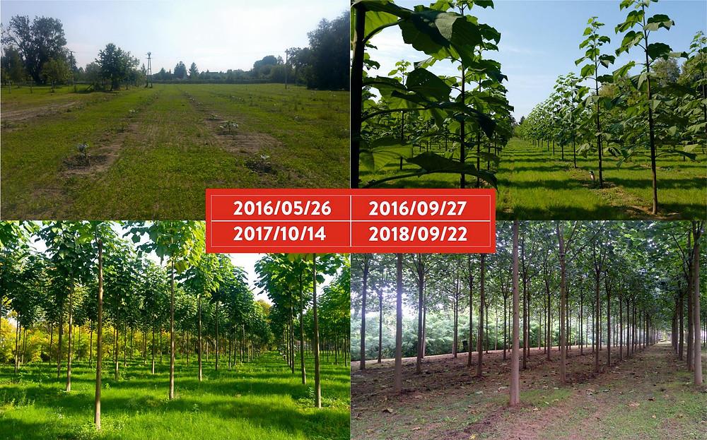 Cotevisa 2 ipari császárfa ültetvény 4 éve
