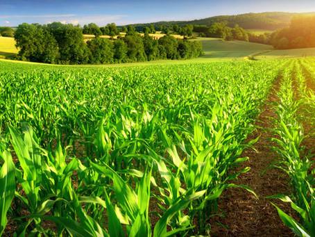 Az ipari császárfa szerepe a modern, magyar gazdálkodásban