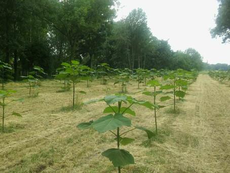 Ekkorát nő 1 év alatt a speciális kínai császárfa hibrid - a Cotevisa 2