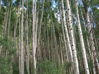 Dense aspen forests line sections of Independence Pass during the screaming descent into Aspen.