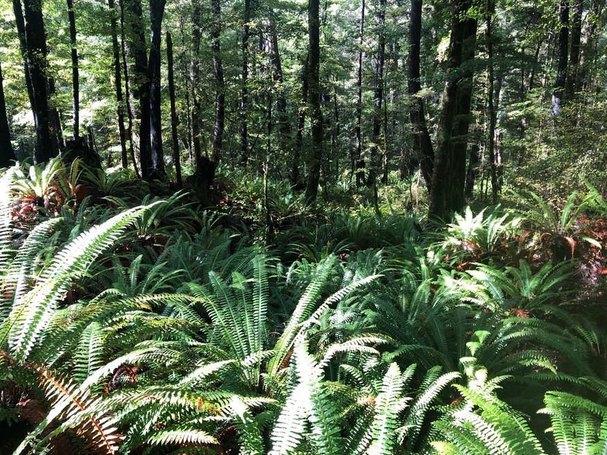 南極ブナの森 クラウンファーン(シダ植物)が豊か