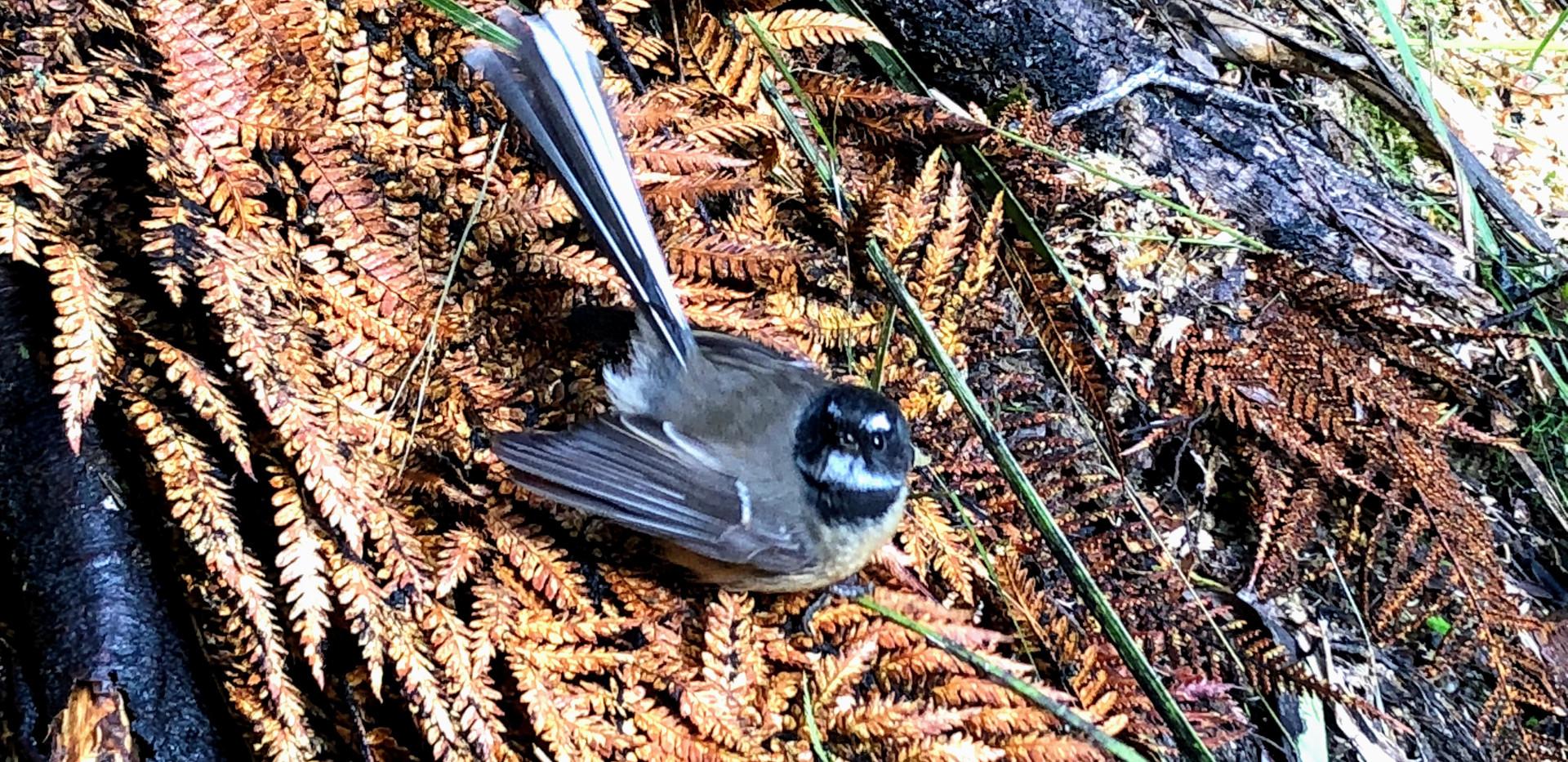 国立公園で出逢える野鳥 ファンテイル