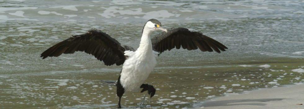 エイベルタズマン国立公園やゴールデンベイで出逢える海鵜