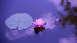 Loto-lago-violeta