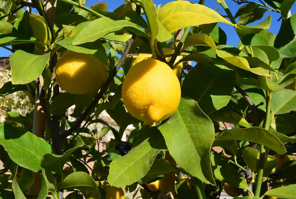 Golden Edition, The Beauty Edit Review, Mayillah, Plant-based Wellness, Wellness, The Wellness Edit,  Lemons, Italian Lemons, Lemons in Italie, Plants