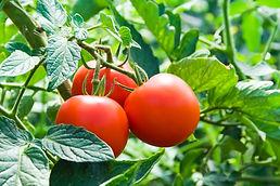 ag-stock-tomatoes.jpg