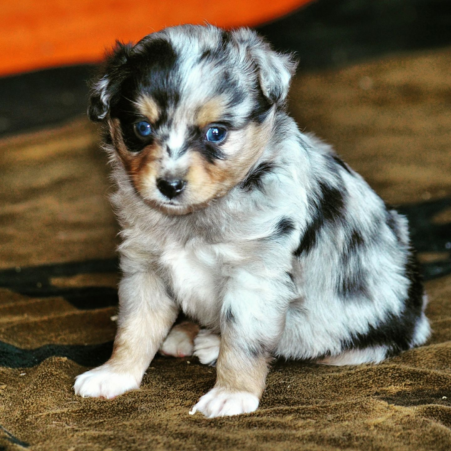 Toy Australian Shepherds United States Saddle Brook Farm