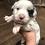 Thumbnail: Blue Merle male(B2) pet
