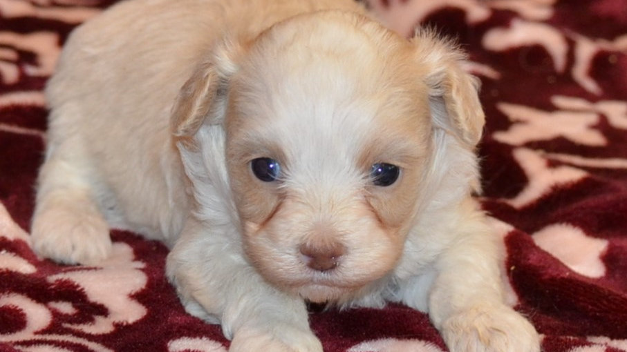 Toy Aussiedoodle due September