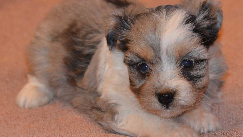 Toy Aussiedoodle due May