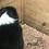 Thumbnail: Black tri male