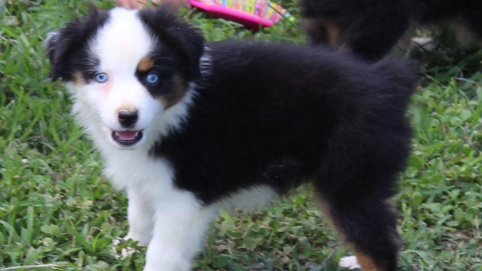 Black tri male blue eyes CM2 pet