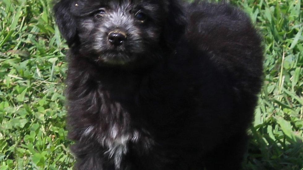 Olivia- Toy/Mini Aussiedoodle