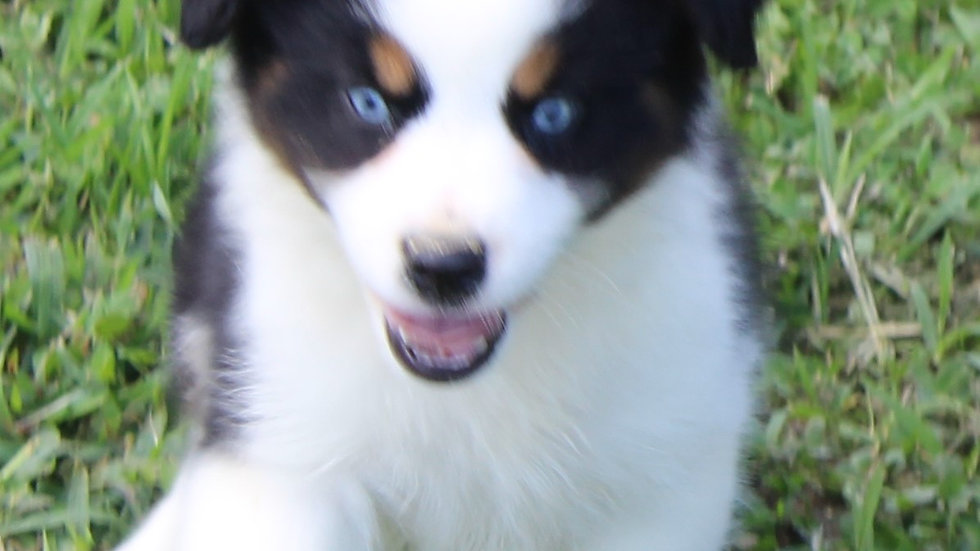 Black tri male blue eyes CM3