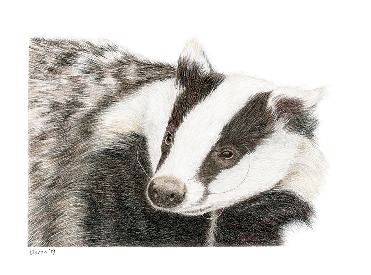 'Badger' Limited Edition Print