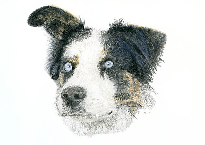 'Mesmerised' Blue Merle Collie Limited Edition Print