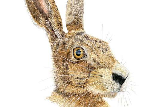 March Hare - Ltd edition prints available