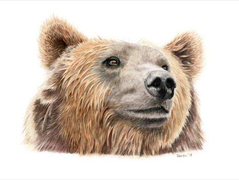 Brown Bear  - Ltd edition prints available