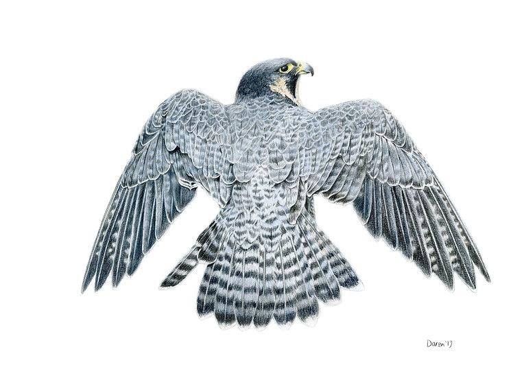 'Peregrine Falcon' Limited Edition Print