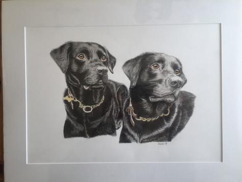 Black Labradors