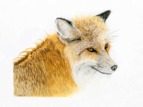 Winter Fox - Ltd edition prints available