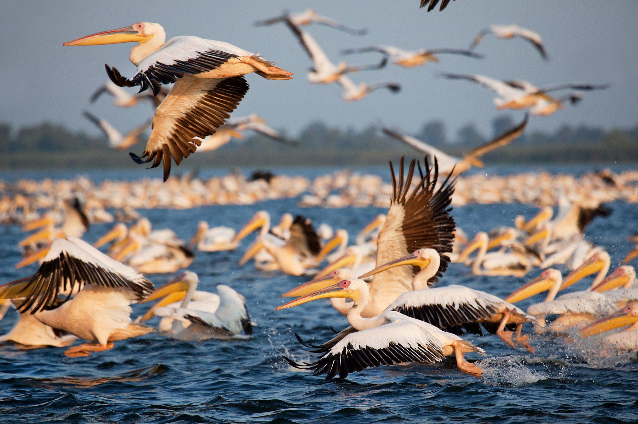 Pelicans Danube Delta