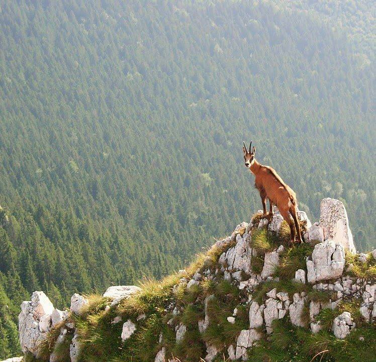 Chamois / Mountain Goat