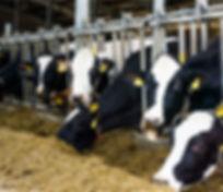 cows-photo.jpg