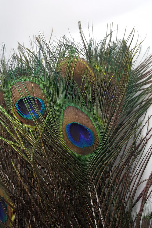 10 Peacock Feathers