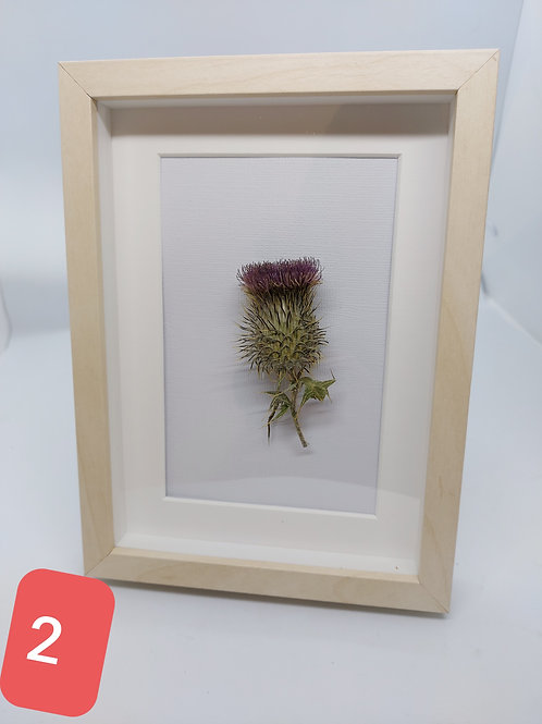 Scotch Thistle Dried and framed