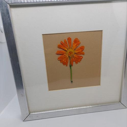25cm silver framed pressed marigold