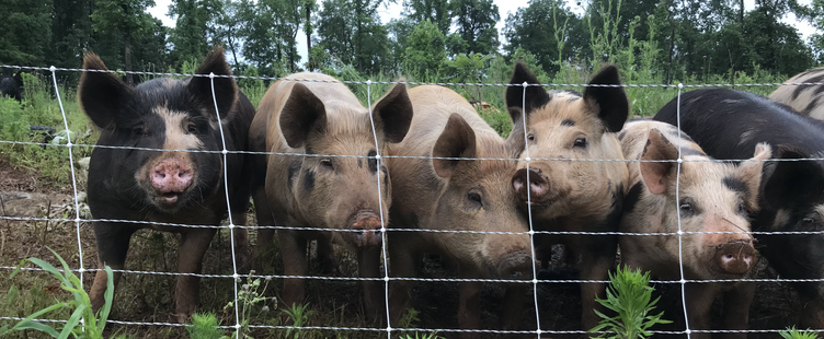 Patience Farm Pigs