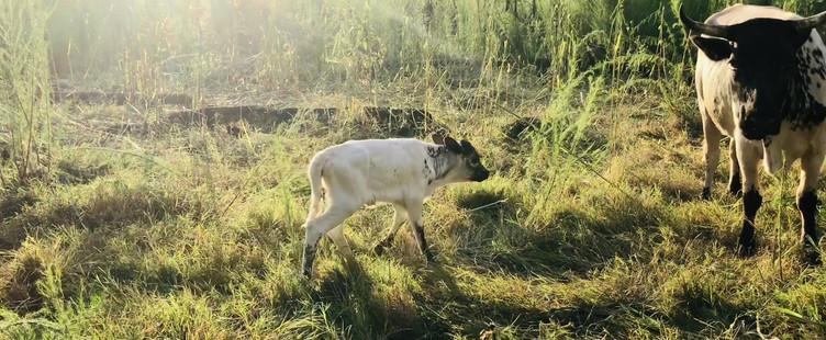 Pineywoods New Born Heifer Calf