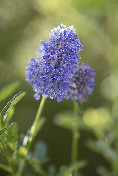 Author and Artist Michelle Dorothy Riksman captures nature's simple miracles and Australia's Flora and Fauna through an Autistic Lens - Ceonothus (Blue Pacific)