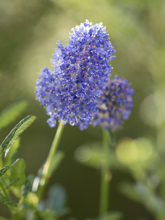 Australian Nature Images - Flora and Fauna - Ceonothus papillosus (Blue Pacific)