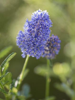 Australian Nature Images - Flora and Fauna - Ceonothus Blue Pacific